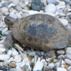Demre turtle